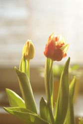 Tulip by photo-exile