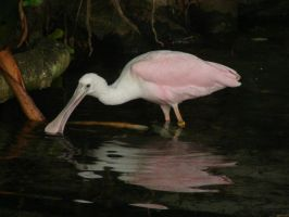 Thirsty Spoonbill by RoamingDragon