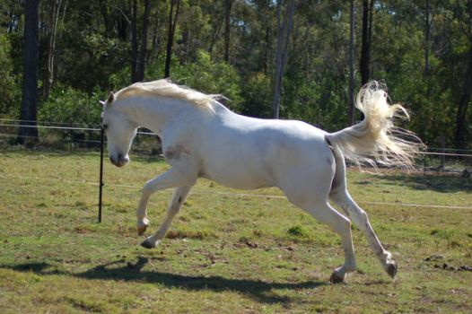 Horse stock-Big canter stretch by Chunga-Stock