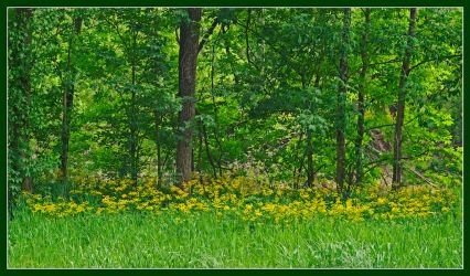 Yellow wild flowers. L1000405, with story by harrietsfriend