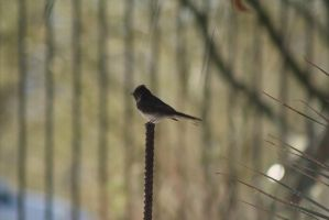 Black Phoebe by ringette-and-riding