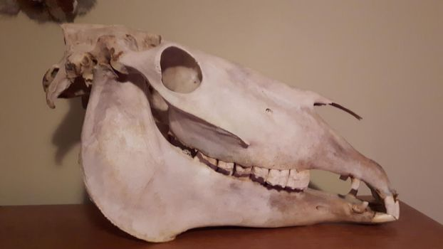Horse Skull by Whitetail-Taxidermy