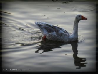 Swimming goose by Ladywolf1997
