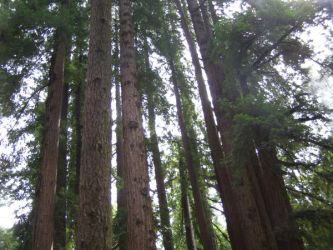 Redwood Trees by California-Club