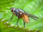 DUNG FLY by Iris-cup