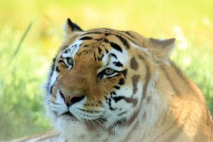 Amur Tiger by sgt-slaughter
