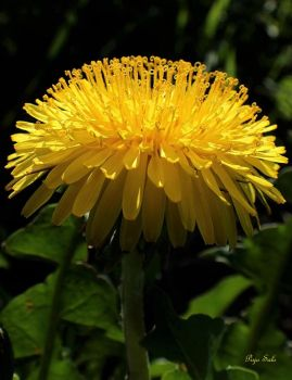 Taraxacum officinale by Tuulikannel