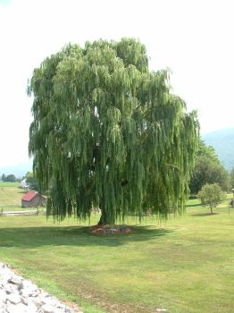 Willow Tree by Dracoart-Stock
