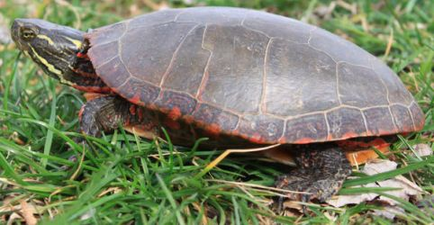 Painted Turtle Stock 3 of 11 by Lovely-DreamCatcher