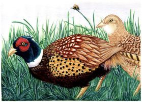 Pheasants by twapa