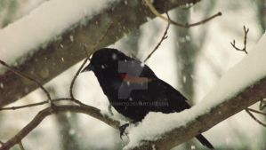 Red-Wing Black Bird 2014-11-14 09.29.32 by KenshinKyo