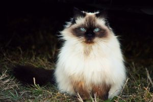 Fluffy Kitty. by pasofino6