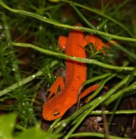 eastern newt by bydandphotography