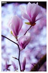 Magnolia accentued colored version by rapedbutshaved