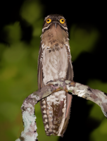 Potoo by JordyLakiere