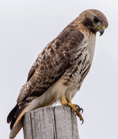 Red Tail Hawk 006 by Elluka-brendmer