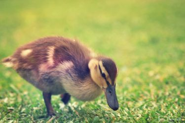 Ducking by jessburnett