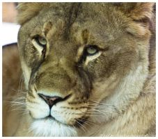 Lioness 033 by ShineOverShadow