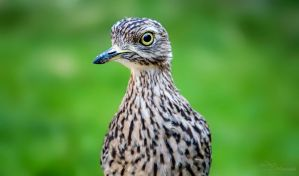 Cape Thick-Knee by PaulaDarwinkel