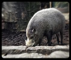 Boar. by jennystokes