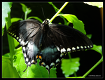 Spicebush Butterfly Too by Mogrianne