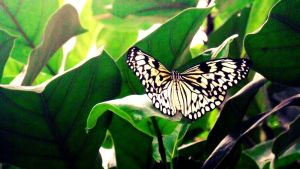 White butterfly by hannie001