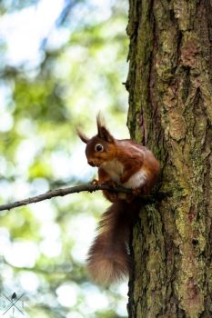 red squirrel. by DrewHarrison