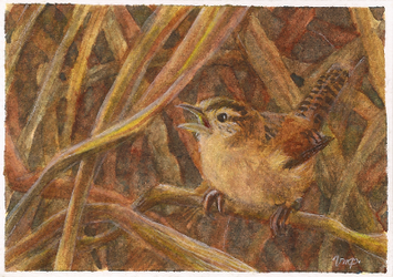 aceo marsh wren for afke11 by kailavmp