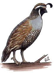 California Quail by twapa