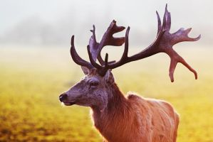 the majestic stag by riskonelook