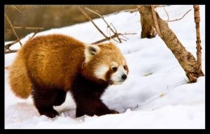 Red Panda: Snow Walk by Flame-of-the-Phoenix