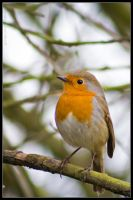 Mr Red Breast by DaBeanz