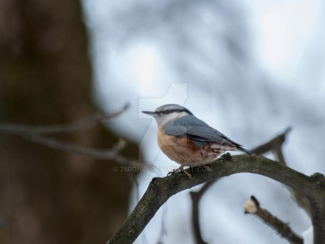 Nuthatch by 75ronin