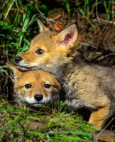 Coyote Brothers II by White-Voodoo