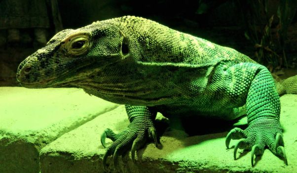 Young Komodo Dragon by combatplayer
