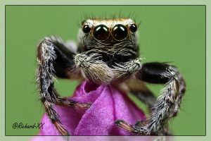 Jumping Spider 6 by RichardConstantinoff