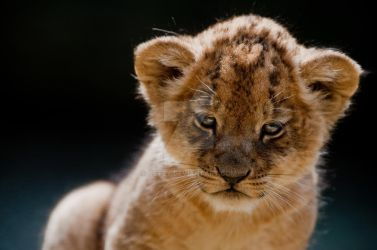 Little Lion by oetzy