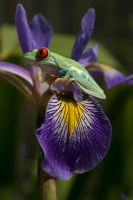 A tree frog on an iris by AngiWallace