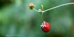 Strawberry Fields Forever by SimplyVero