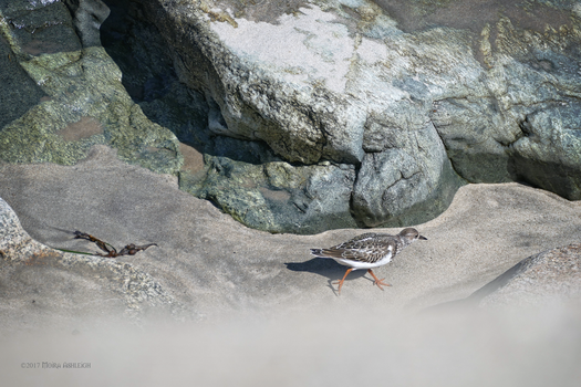 Ruddy Turnstone by Mogrianne