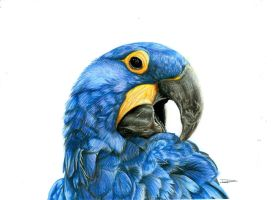 Hyacinth Macaw by DLiz3