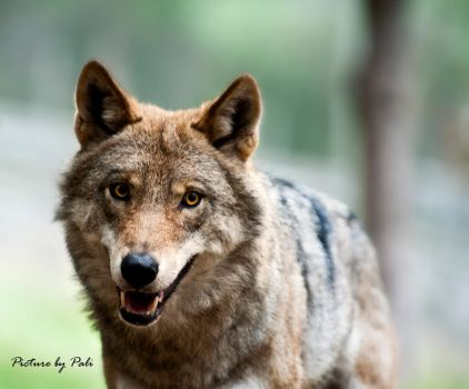 The Happy Wolf by PictureByPali