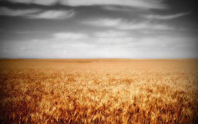 Wheat by joshwilcox
