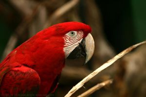 Red Macaw by ivekvatrozic