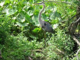 The Great Blue Heron by Fireborn46
