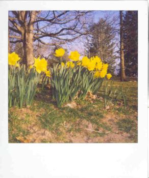 Jonquils by ladyindistress