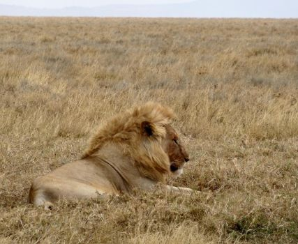 Serengeti Lion by Track-Maidens