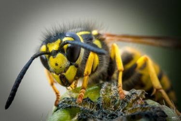 Wasp by Puttee