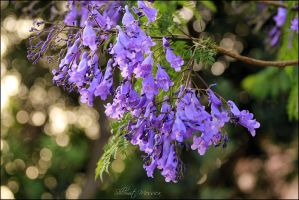 Soft purple blooming by ShlomitMessica