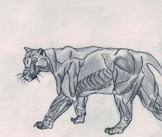 tiger anatomy by InnocentThora